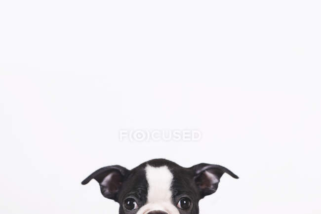 Peeking Boston terrier puppy in front of white background — Stock Photo