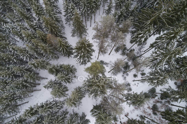 Coniferous forest in winter seen from above — Stock Photo