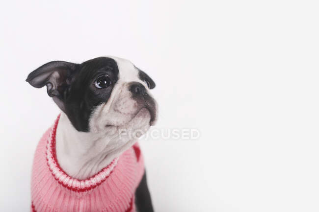 Boston terrier puppy wearing pink pullover watching something — Stock Photo