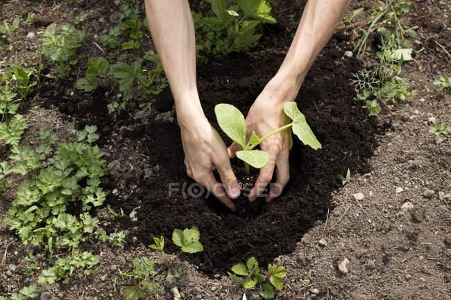 Jardín orgánico, jardinero plantando una planta de calabaza - foto de stock