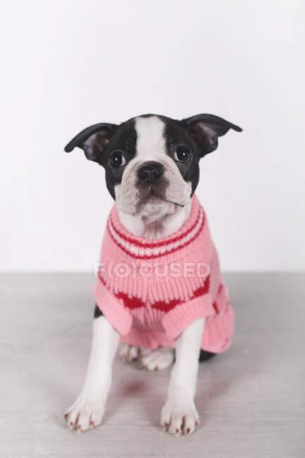 Retrato de Boston terrier cachorro con jersey rosa - foto de stock