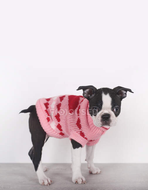 Portrait of Boston terrier puppy wearing pink pullover with hearts — Stock Photo