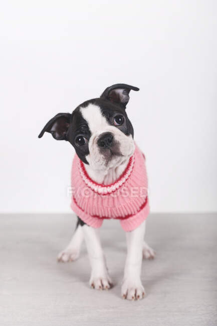 Portrait of Boston terrier puppy wearing pink pullover — Stock Photo