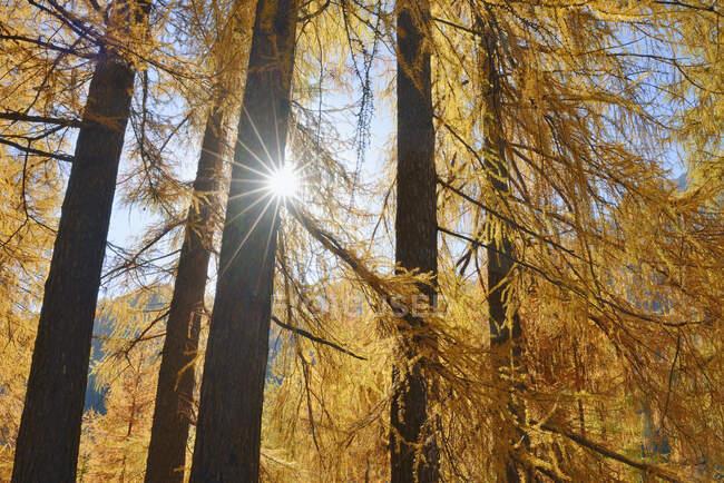 Italy, South Tyrol, European Larch, Larix decidua, forest against the sun — Stock Photo