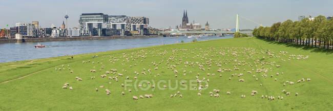 Alemania, Colonia, vista a la ciudad con el río Rin y rebaño de ovejas en Poller Wiesen en primer plano - foto de stock
