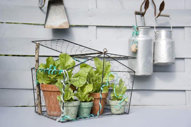 Ensalada de hojas creciendo en macetas en el balcón - foto de stock
