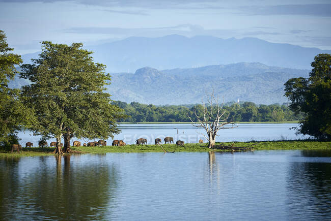 View to penisula at Udawalawe Reservoir with young elephants, Udawalawa National Park, Sri Lanka — Stock Photo