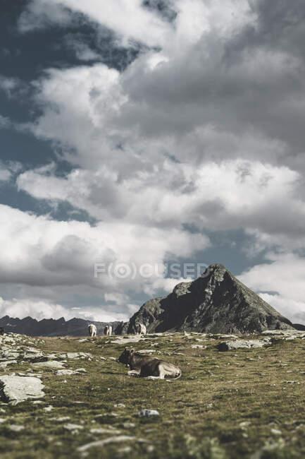 Switzerland, Grisons, Samedan, cows at southern ramp Bernina Pass — Foto stock