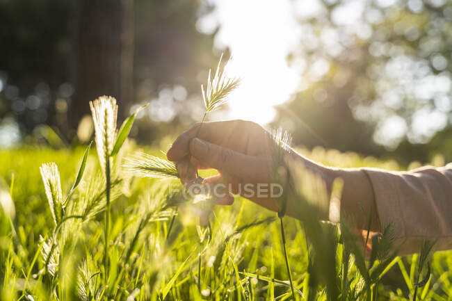 Mão com grama contra o sol — Fotografia de Stock