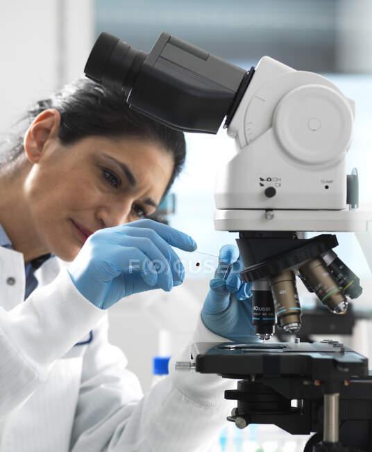 Técnico de laboratorio examinando un portaobjetos de vidrio que contiene una muestra de sangre lista para ser magnificada bajo el microscopio en el laboratorio - foto de stock