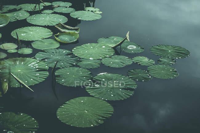 Almohadillas de lirio en el estanque, Wuppertal, Alemania - foto de stock