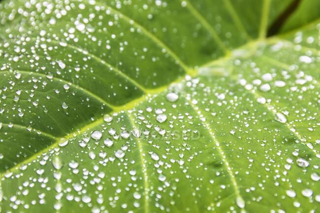 Raindrops on a big leaf, Hana Highway, Мауи, Гавайи, США — стоковое фото