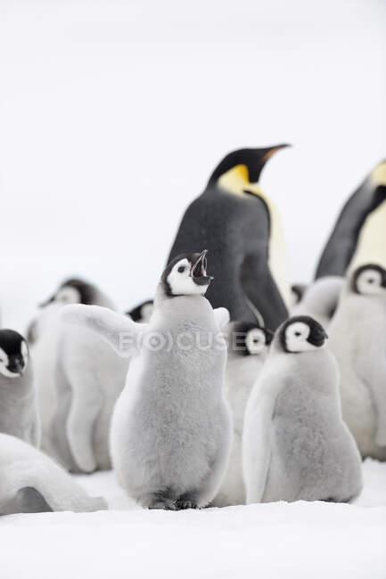 Antártida, Península Antártica, Isla Snow Hill, Pollito pingüino emperador — Stock Photo
