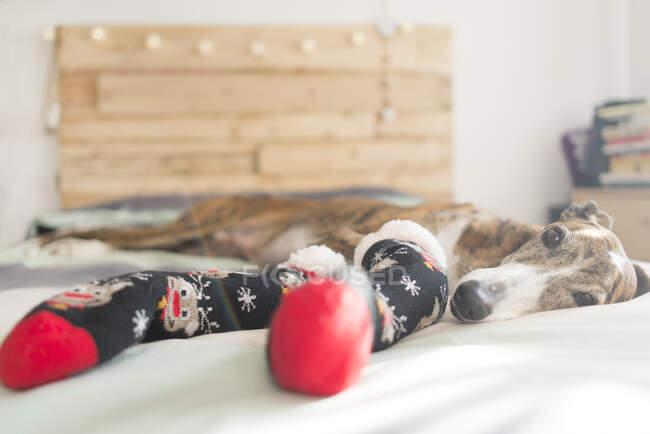 Retrato de Greyhound acostado en la cama con medias en Navidad - foto de stock