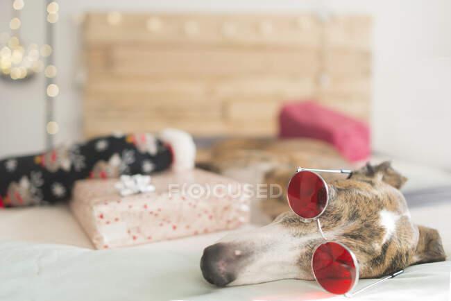 Cansado galgo acostado en la cama con regalo de Navidad con gafas - foto de stock
