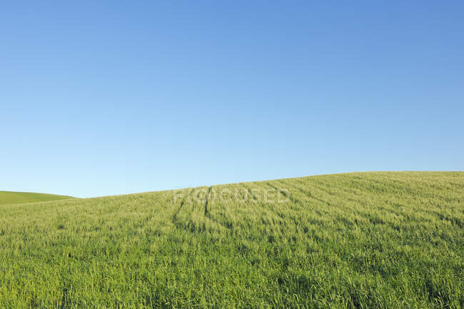 Spain, Ronda, view to green wheat field in front of blue sky — Stock Photo