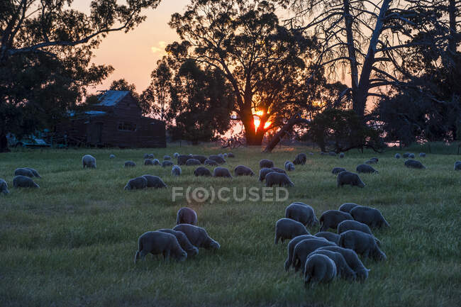 Ovelhas pastando nos campos ao pôr do sol, Grampians National Park, Victoria, Austrália — Fotografia de Stock