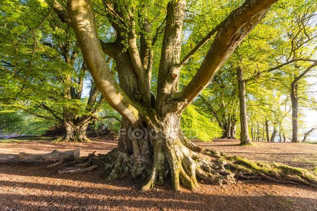 Old tree, Perth, Scotland — Stock Photo
