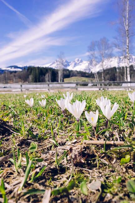 Corcusses in spring, Kitzbuehel, Austria — Stock Photo