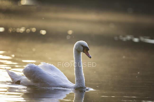 Cigno nuotatore al crepuscolo della sera — Foto stock