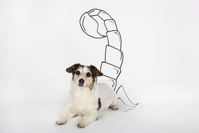 Portrait of mongrel as Scorpio with drawn tail lying on white ground — Stock Photo