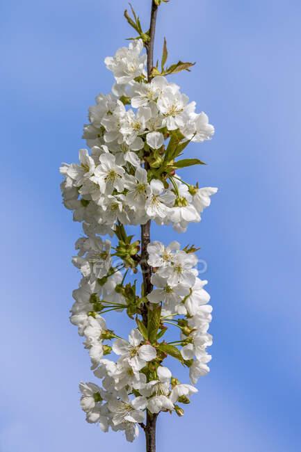 Cherry blossoms, Cerasus, close-up — Stock Photo