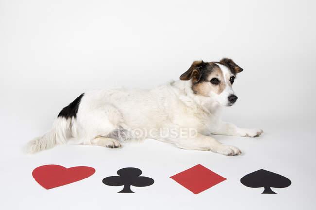 Mestizo perro con Ases en el fondo, de cerca - foto de stock