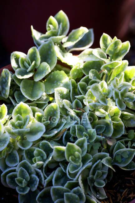Planta de hielo, Mesembryanthemum crystallinum - foto de stock