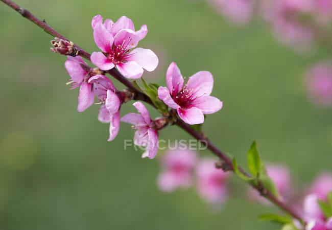 Peach blossoms, Prunus persica, close-up — Stock Photo