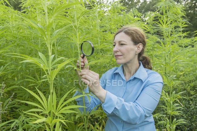 Femme avec loupe examinant une plante de chanvre dans une plantation de chanvre — Photo de stock
