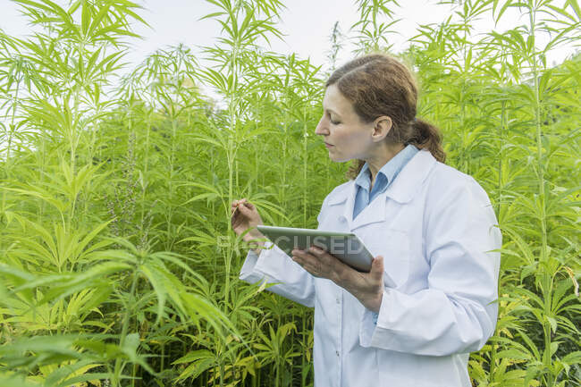 Scientist with tablet examining plants in a hemp plantation — Stock Photo