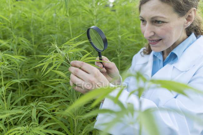 Scientifique avec loupe examinant une plante de chanvre dans une plantation de chanvre — Photo de stock