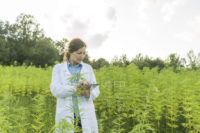 Scientifique utilisant un comprimé dans une plantation de chanvre — Photo de stock