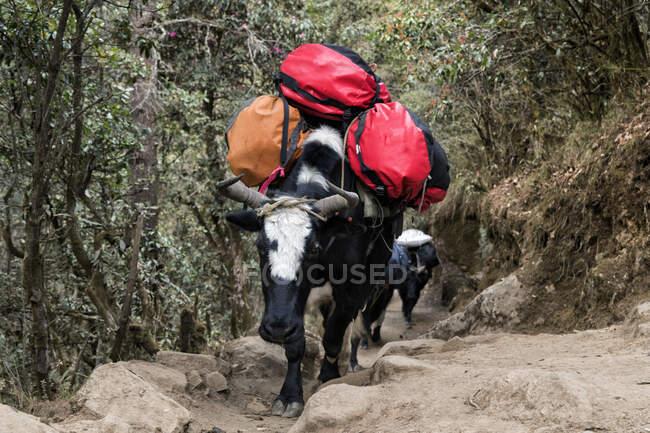 Embalado de ganado que lleva equipaje, Solo Khumbu, Nepal - foto de stock