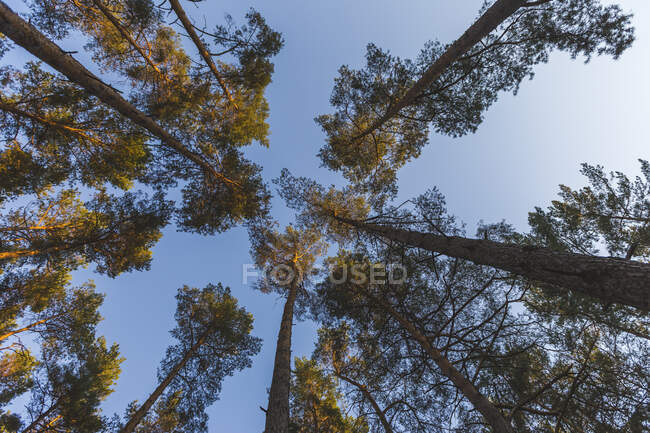 Germany, Brandenburg, Beelitz, Pine Forest, worm's eye view — Stock Photo