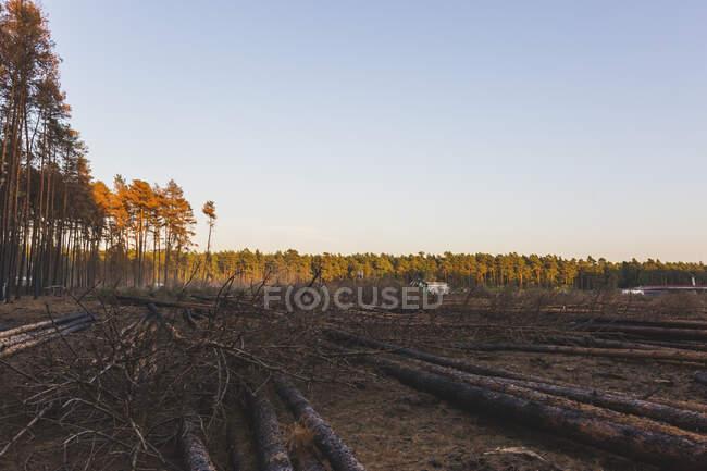 Germany, Brandenburg, Beelitz, Pine Forest, slash and burn — Stock Photo