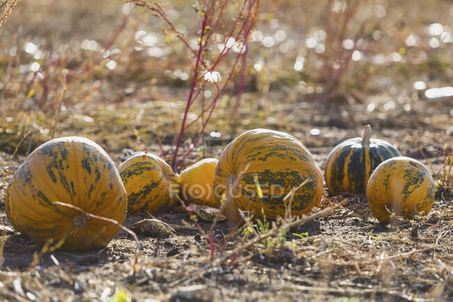 Pumpkins on a field at harvesttime — Stock Photo