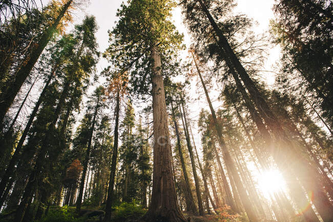 Sunset among the trees in the forest in Sequoia National Park, California, USA — Stock Photo