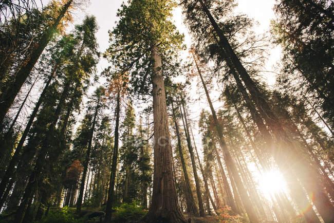 Tramonto tra gli alberi della foresta nel Sequoia National Park, California, USA — Foto stock