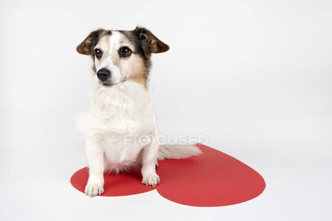 Portrait of mongrel sitting on big Ace Of Hearts — Stock Photo