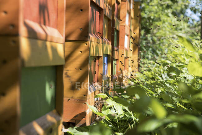 View of bees flying by beehives — Stock Photo