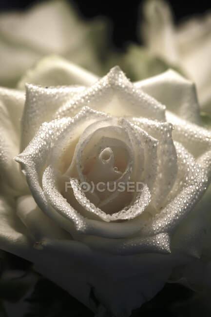Цветок белой розы с водопадами — стоковое фото