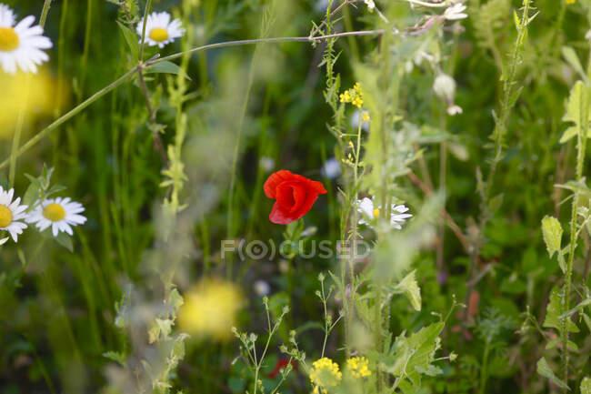 Flower meadow with corn poppy — Stock Photo