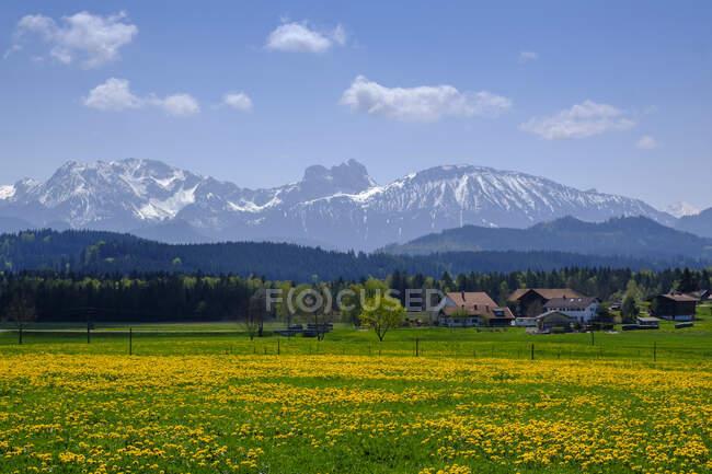 Желтая сельская местность на фоне деревенских домов и Альп, Зеег, Бавария, Германия — стоковое фото