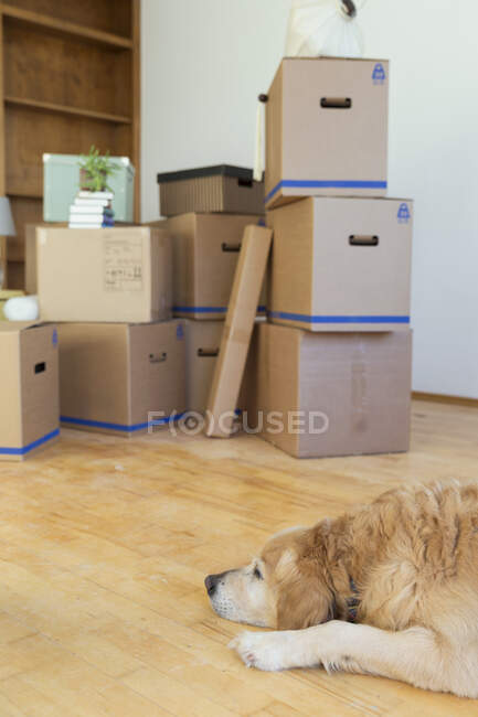 Dog lying on the floor in front of cardboard boxes in an empty room in a new home — Stock Photo