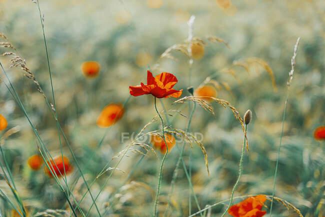 Покриття свіжих макових квітів на полі. — стокове фото