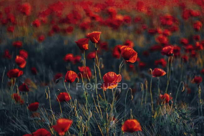 Full frame shot of fresh poppy flowers on field during sunset — Stock Photo