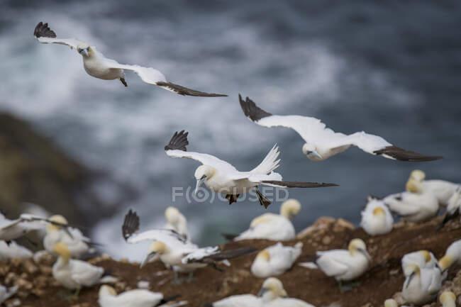 Scotland, flying Northern gannets — Stock Photo
