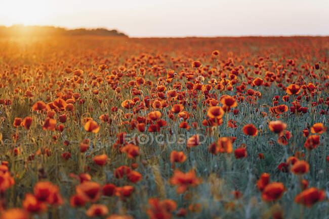 Vista panorámica de flores frescas de amapola floreciendo en el campo contra el cielo durante el atardecer - foto de stock
