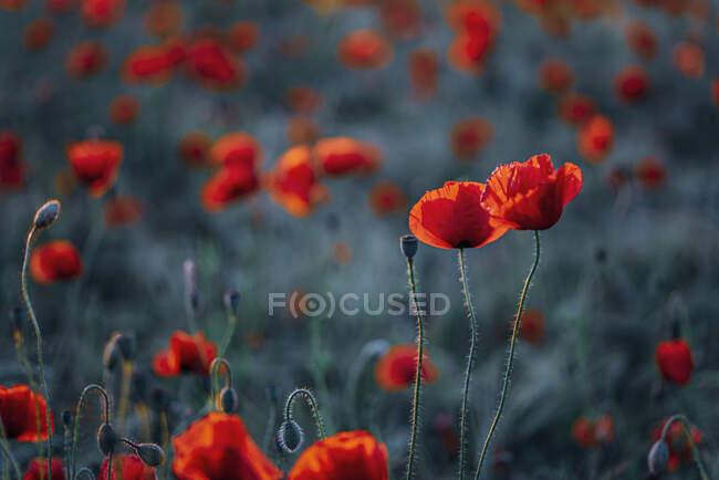 Primer plano de las flores frescas de amapola en el campo durante la puesta del sol - foto de stock